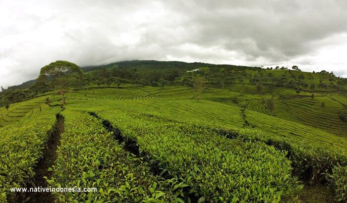 33 Tempat Wisata Bandung Asyik Buat Liburan Kebun Teh Sukawana