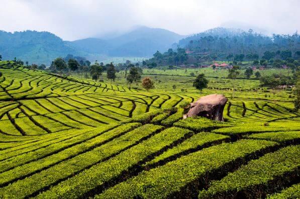 5 Lokasi Wisata Kebun Teh Patut Kunjungi Sukawana Kab Bandung