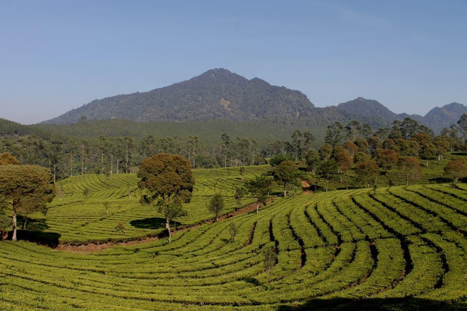 Hiking Gunung Lewati Kebun Teh Sukawana Lembang Asep Villa Kab