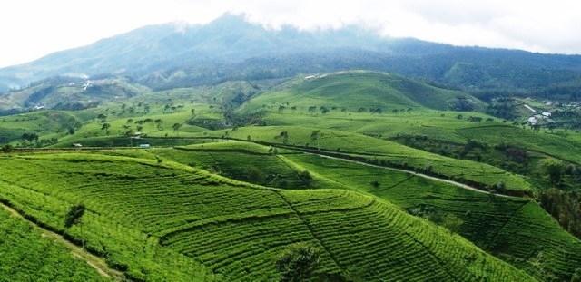 Perkebunan Teh Sukawana Wisata Edukasi Lembang Villa Murah Bandung Penginapan