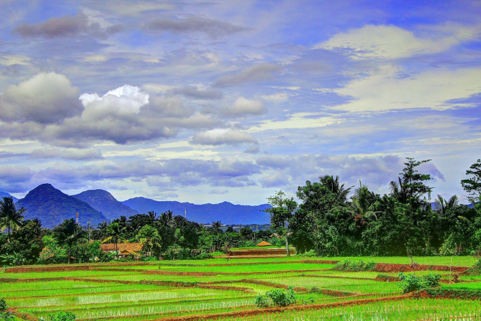 Rice Fields Ricefields Purwakarta West Java Indonesia Kebun Teh Sukawana