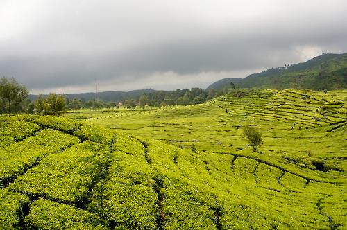 Tea Garden Bandung Indonesia Submitted Denisusanto Kebun Teh Sukawana Kab