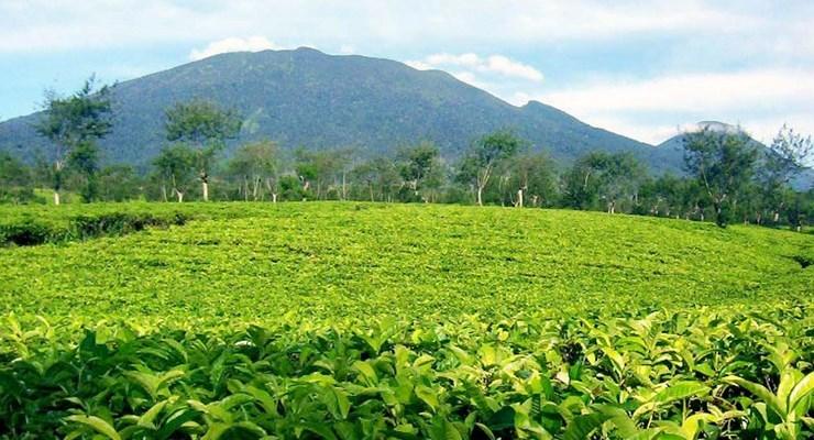Wisata Kebun Teh Bandung Rancabali Populer Sukawana Kab Barat