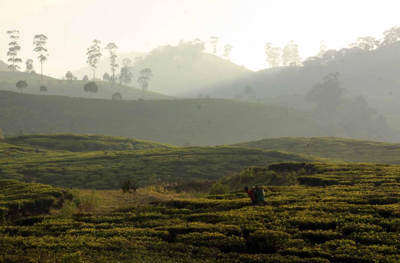 Wisata Perkebunan Teh Bandung Jawa Barat Vacation Santai Menyegarkan Cobalah