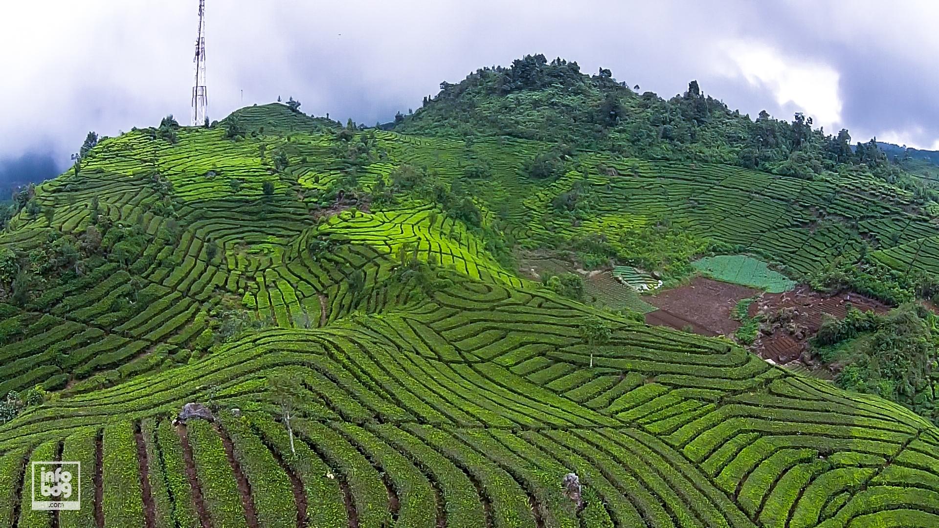 Yuk Jelajah 6 Kebun Teh Cantik Bandung Infobdg Perkebunan Rancabali