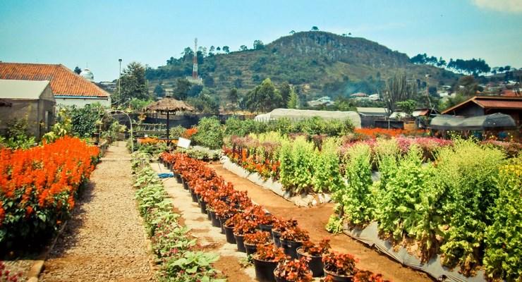 10 Foto Kebun Begonia Lembang Bandung Alamat Lokasi Tiket Tempatnya