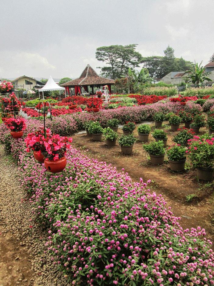 Menikmati Kebun Begonia Anakku Net Taman Kab Bandung Barat