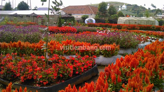 Tentang Lembang Bandung Barat Visitlembang Taman Bunga Begonia Kab
