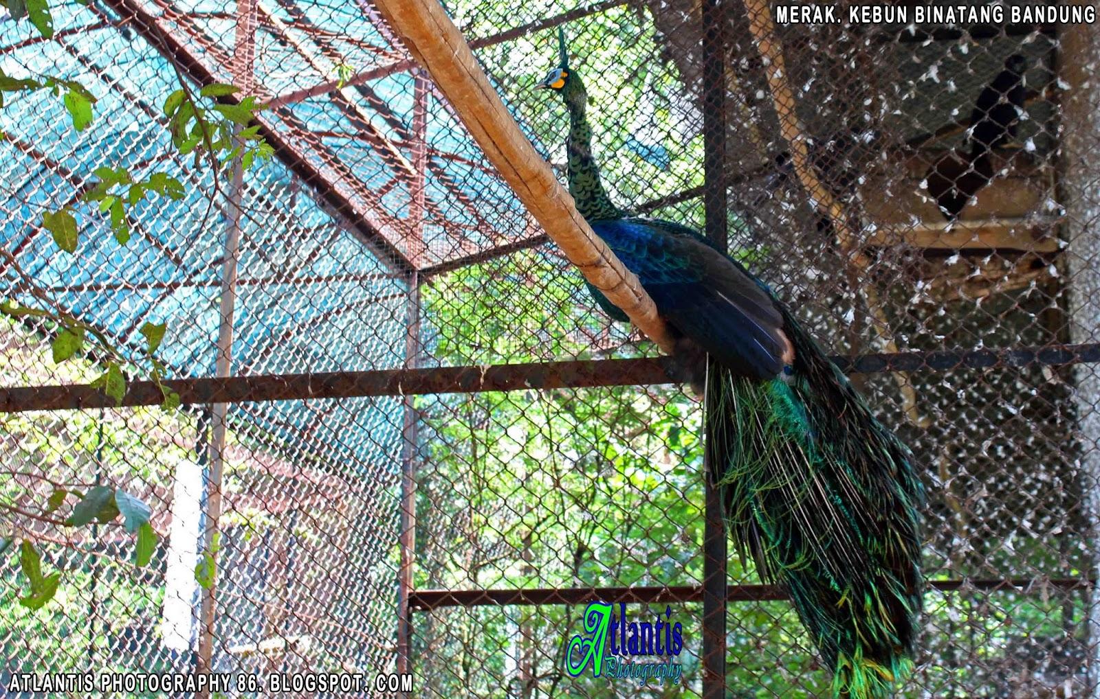Atlantis Photography Krui Bandung Zoo Kebun Binatang Rangkong Ciri Khasnya