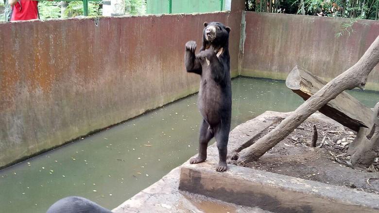 Bonbin Bandung Beruang Sehat Kurus Bukan Berarti Sakit Berita Kondisi