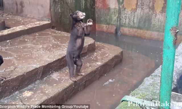 Daily Mail Beritakan Beruang Kelaparan Kebun Binatang Bandung Kelapan Dok