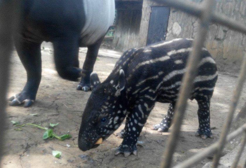 Hewan Terancam Punah Lahir Kebun Binatang Bandung Anak Tapir Foto