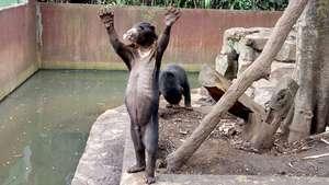 Kondisi Beruang Kurus Bonbin Bandung Disorot Dunia Duh Kebun Binatang