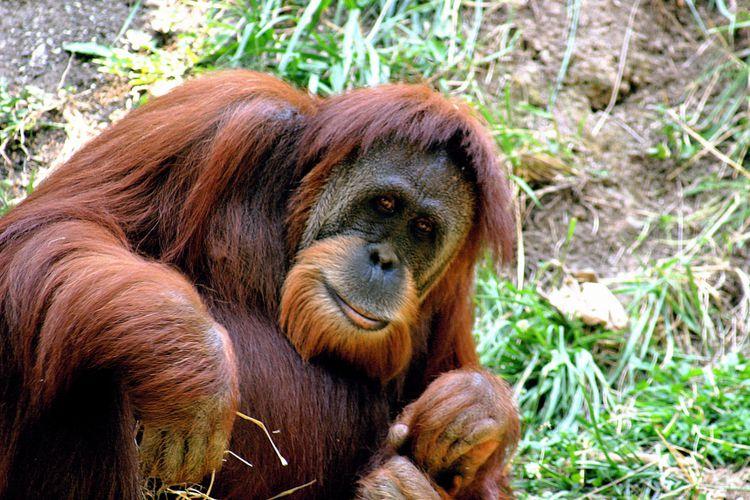 Miris Pengunjung Lempari Orangutan Rokok Kebun Binatang Bandung Ilustrasi Kab