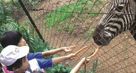 Wisata Kebun Binatang Bandung Tempat Terbaik Indonesia Memberi Makan Kuda