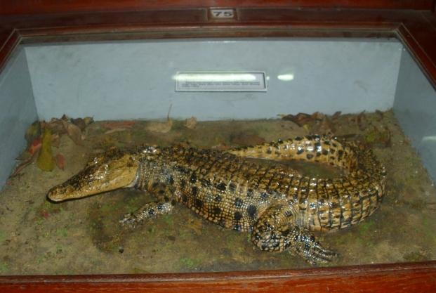 Paus Raksasa Museum Zoologi Bogor Buaya Muara Salah Satu Koleksi