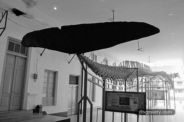 Paus Raksasa Museum Zoologi Bogor Musium Kab Bandung