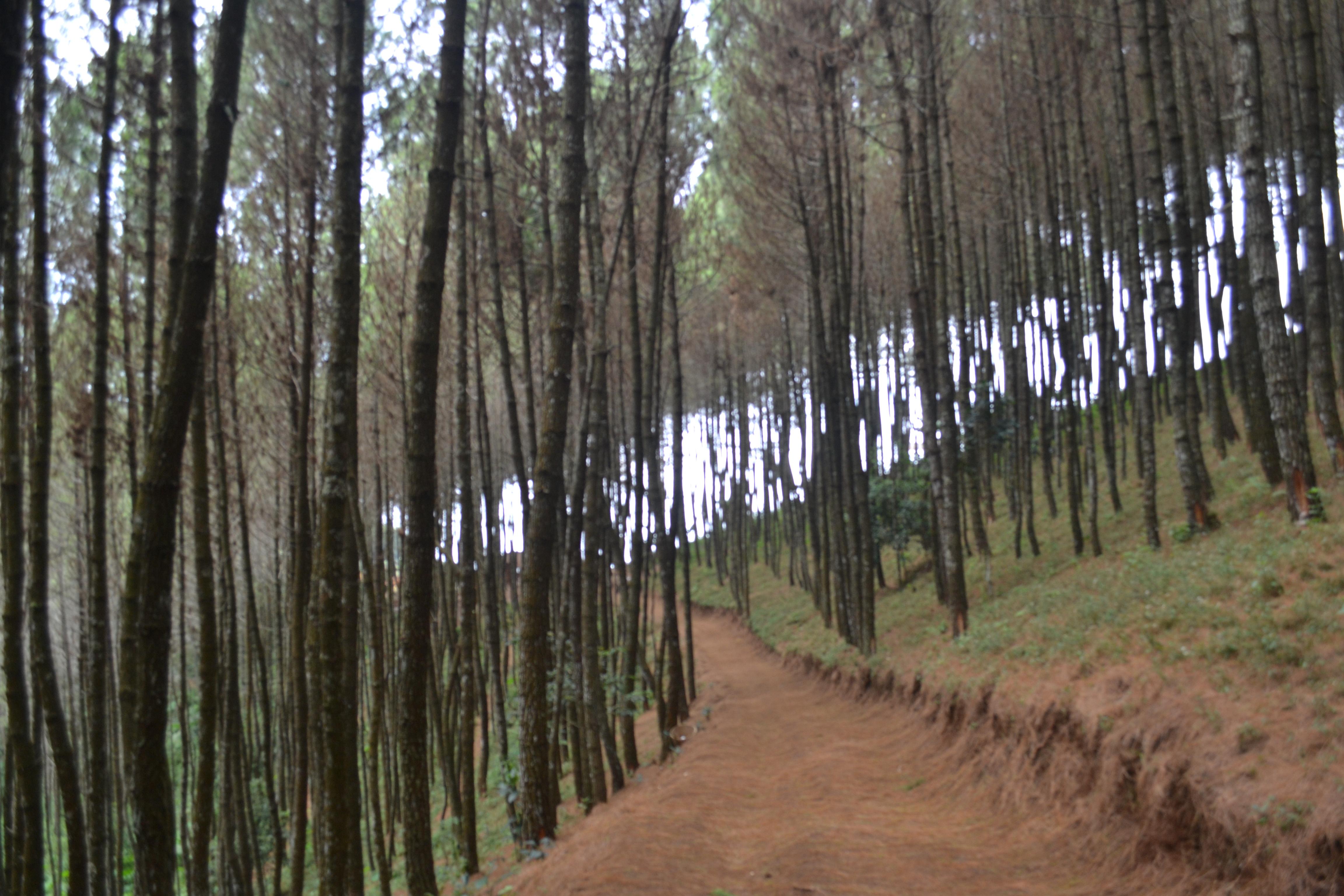 Bukit Moko Puncak Tertinggi Kota Bandung Klikhotel Hutan Pinus Menuju