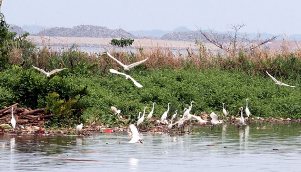 Hutan Mangrove Bangkalan Kerap Disinggahi Burung Eropa Tekno Tempo Kuntul