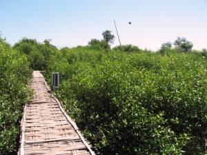 Hutan Mangrove Bangkalan Tak Kalah Indah Surabaya Labuhan Kab