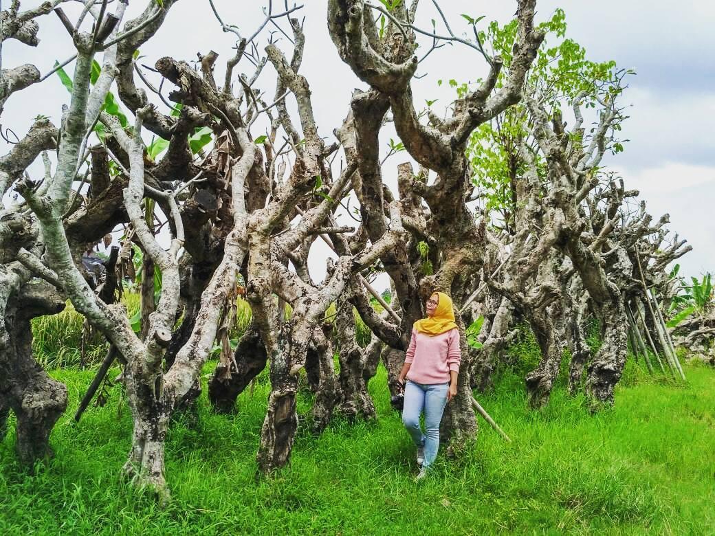 Berburu Foto Keren Objek Hutan Kamboja Klaten Jago Wisata Kalian