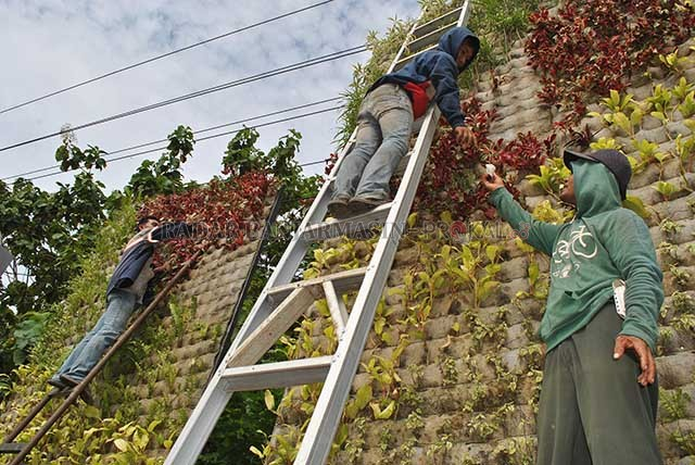 Waduh Satu Bulan Taman Vertikal Layu Radar Ganti Tanaman Pekerja