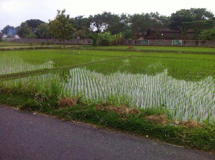 Tanah Dijual Sawah Utara Pasar Seni Gabusan Jalan Rumah Yogyakarta