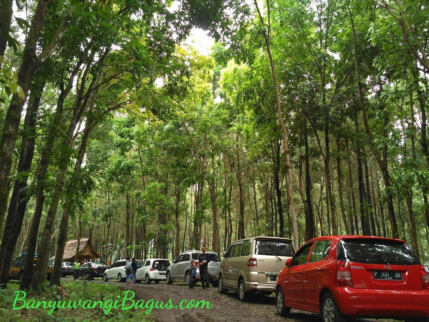 Wisata Hutan Pinus Songgon Spot Selfi Terkini Banyuwangi Tempat Parkir
