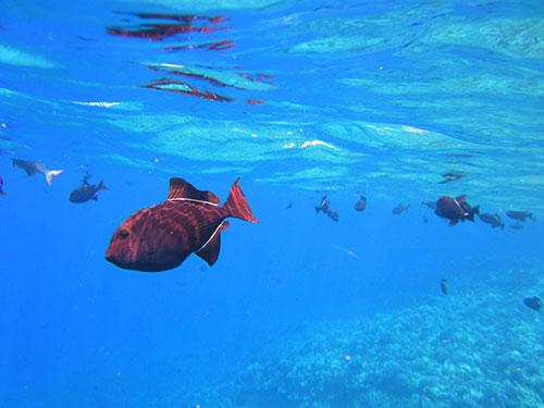 Pantai Bangsring Banyuwangi Wisata Sambil Snorkeling Kab