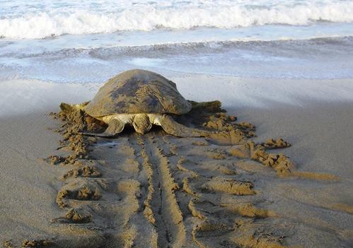 Banyuwangi Menjadi Surga Bagi Penyu Berbagai Spesies Dewasa Pantai Ngagelan