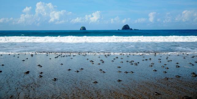 Banyuwangi Menjadi Surga Bagi Penyu Berbagai Spesies Surganya Pantai Ngagelan