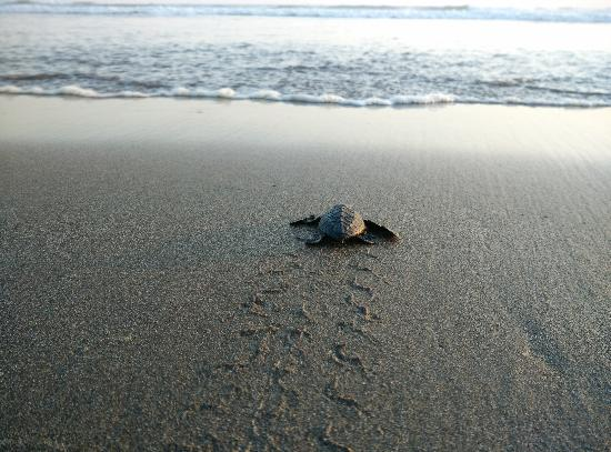 Melepas Penyu Pantai Ngagelan Picture Alas Purwo National Park Kab