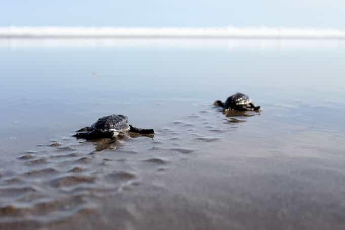 Melihat Penyu Bertelur Tukik Pantai Ngagelan Ulinulin Kab Banyuwangi