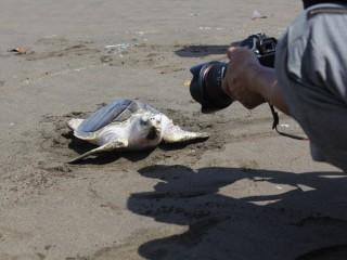 Pantai Ngagelan Tempat Konservasi Penyu Banyuwangi Yuk Piknik Keindahan Alam