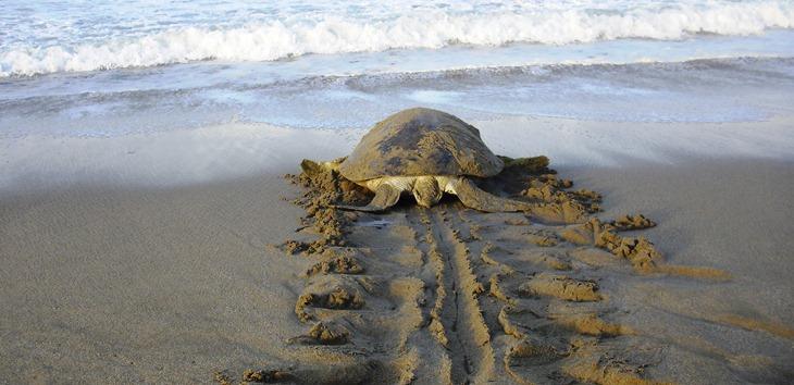 Explore Meru Betiri National Park Finding Turtles Sukamade Beach Pantai