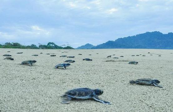 Infromasi Lengkap Pantai Sukamade Banyuwangi Terkini Kab