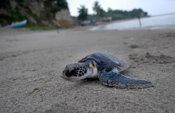 Pantai Sukamade Banyuwangi Afika Melihat Lima Jenis Penyu Kerap Menyambangi