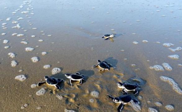 Pantai Sukamade Banyuwangi Melihat Penangkaran Penyu Kab