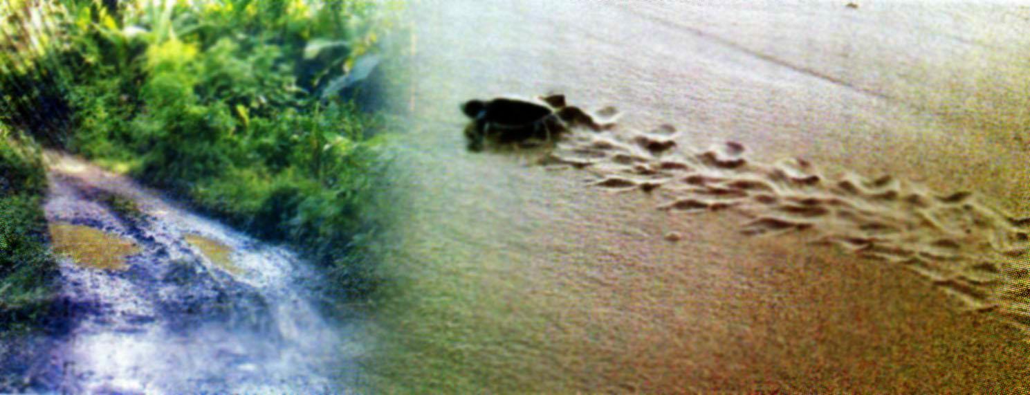 Pantai Sukamade Kabupaten Banyuwangi Wisata Jawatimuran Ekowisata Elok Sebuah Kab