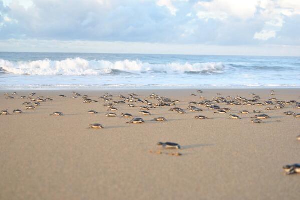 Pantai Sukamade Surganya Penyu Banyuwangi Zona Libur Kab
