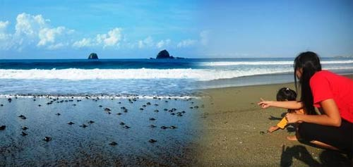 Pantai Sukamade Tempat Bertelur Penyu Raksasa Candi Kab Banyuwangi