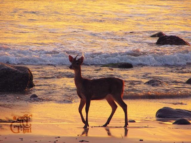 Pantai Trianggulasi Banyuwangi Bagus Beruntung Menjumpai Rusa Berjalan Sekitar Kab
