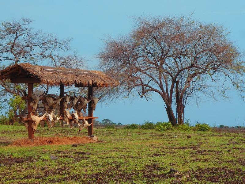 Taman Nasional Baluran Afrika Kecil Diujung Timur Pulau Jawa Tengkorak