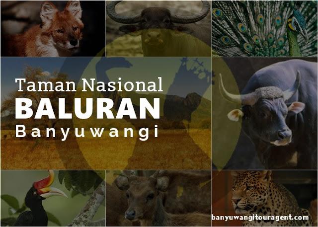 Taman Nasional Baluran Banyuwangi Paket Wisata Bromo Ijen Kab