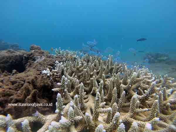 Paket Wisata Teluk Biru Surga Bawah Laut Banyuwangi Terumbu Karang