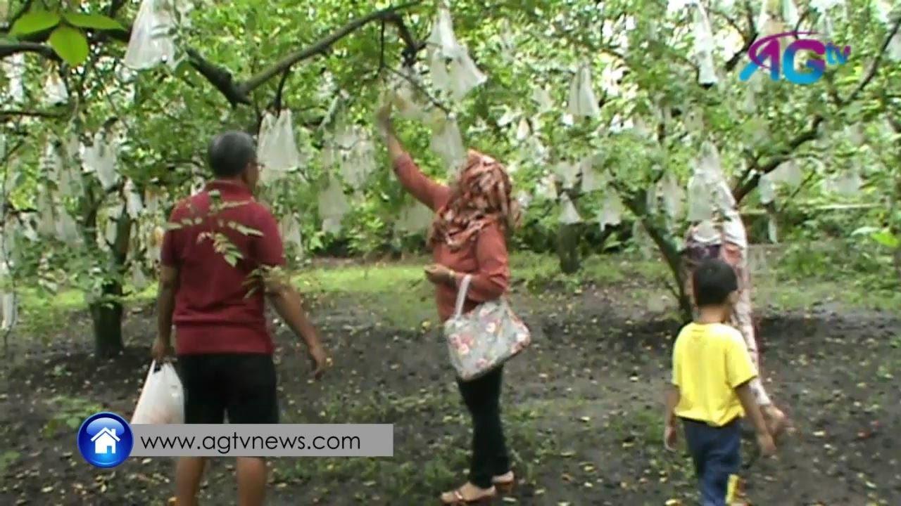 Agrowisata Petik Belimbing Karangsari Agtv Youtube Kab Blitar