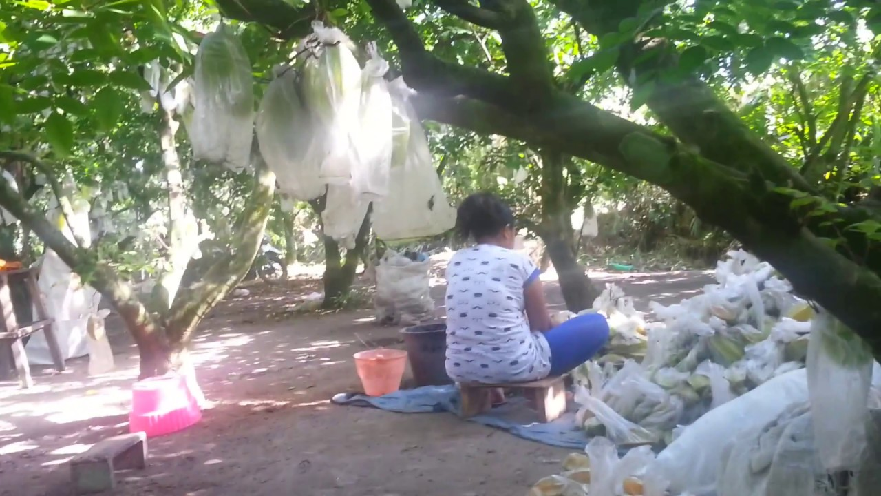 Kebun Blimbing Blitar Youtube Agrowisata Belimbing Karangsari Kab