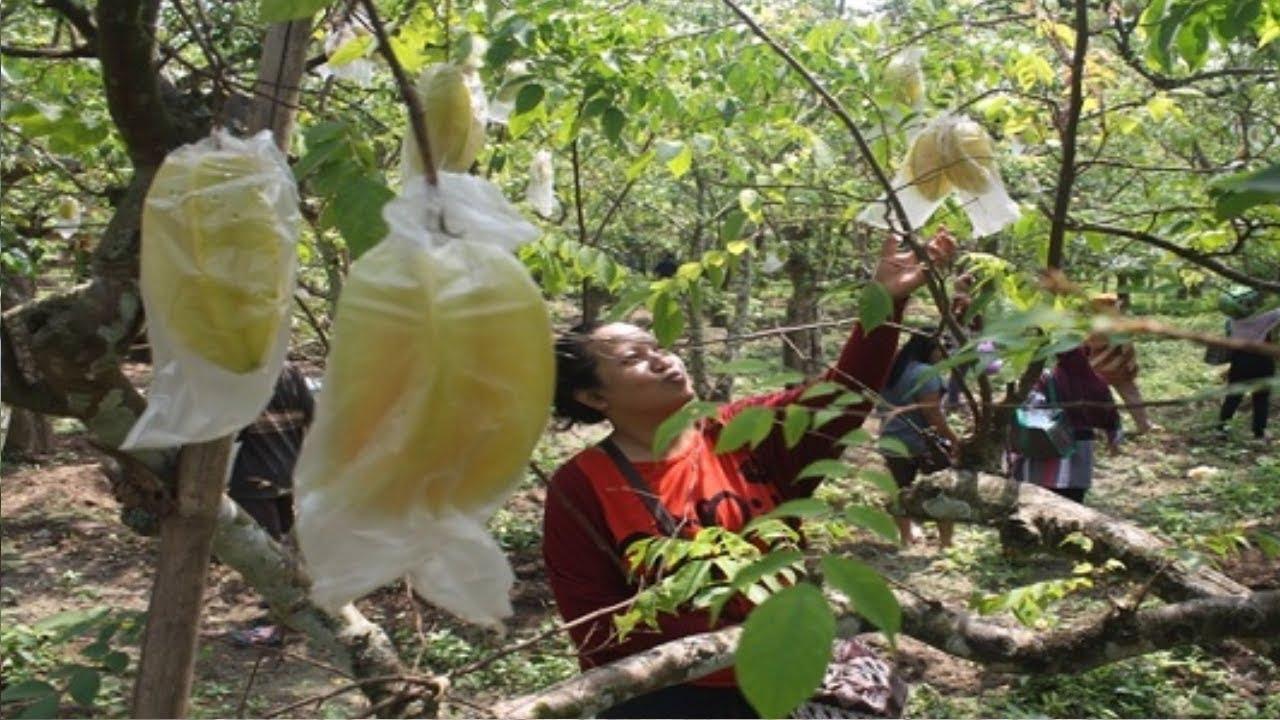 Wisata Petik Belimbing Karangsari Youtube Agrowisata Kab Blitar