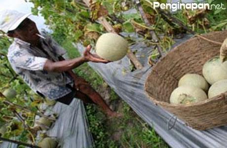 Kampung Melon Blitar Surganya Pecinta Buah Penginapan Net 2018 Www