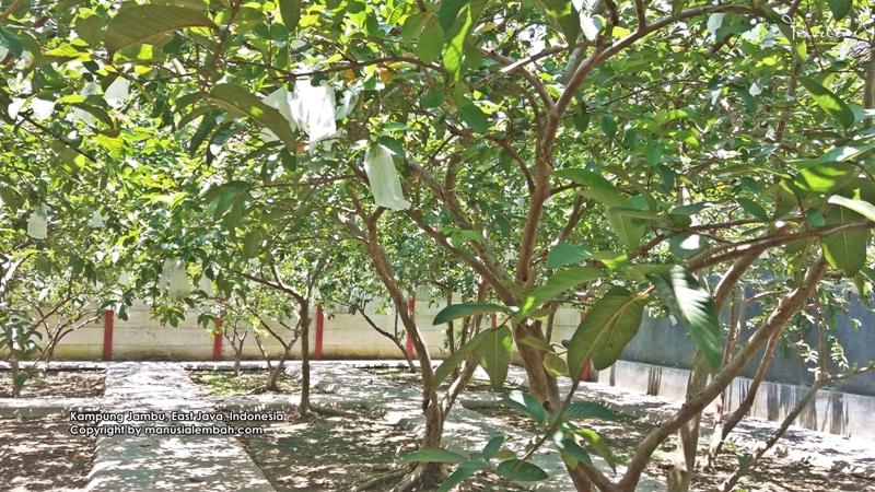 Nikmatnya Petik Jambu Segar Kampung Blitar Manusia Lembah Melon Desa